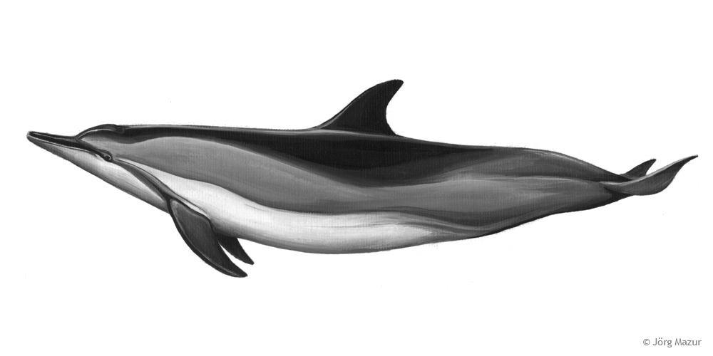 Amazonas flussdelfin zeichnung