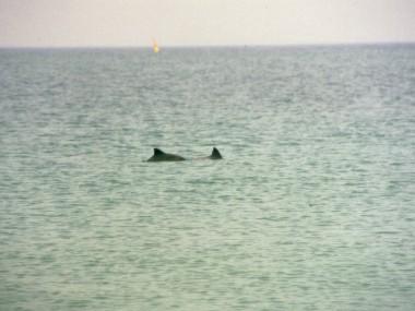 Schweinswale in der Nordsee (Foto: Susanne Gugeler)