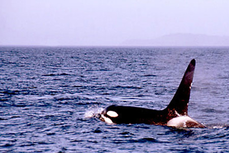 Orca in Vancouver Island (Foto: S. Gugeler)