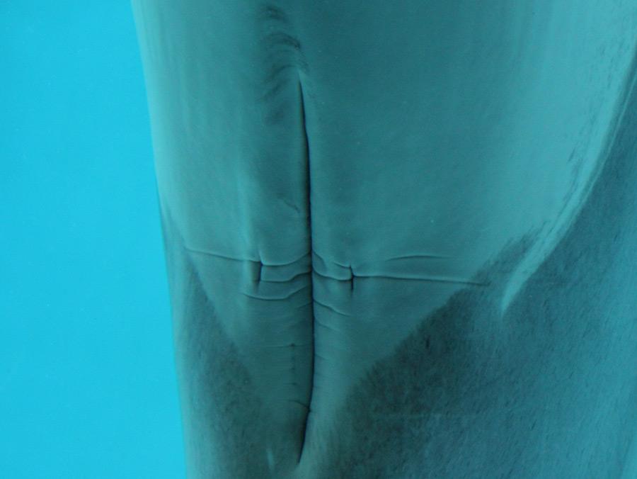 Meeresakrobaten | Die Fortpflanzungsorgane der Delfine