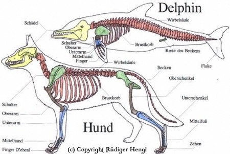 meeresakrobaten das skelett der delfine. Black Bedroom Furniture Sets. Home Design Ideas