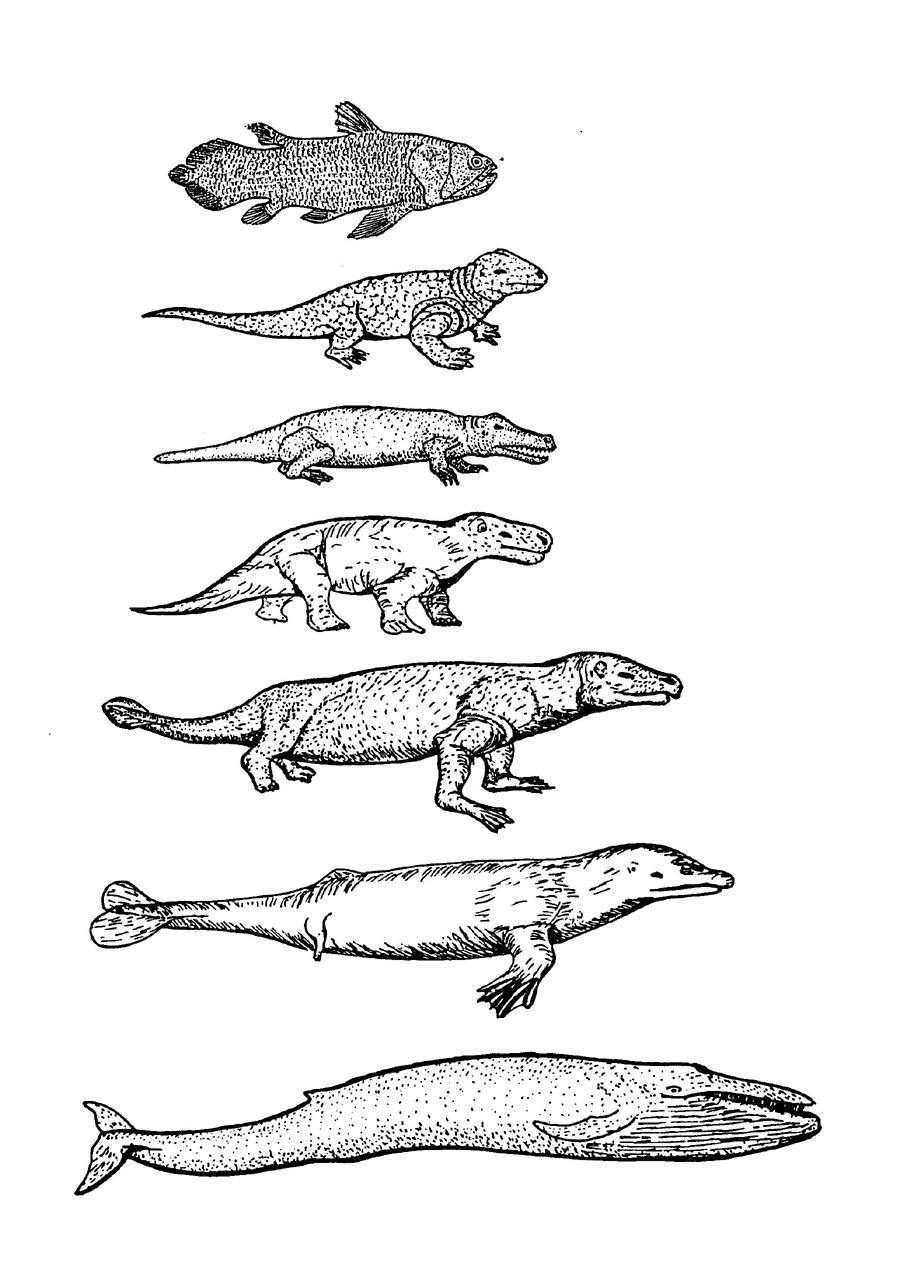 Meeresakrobaten | Evolution der Wale