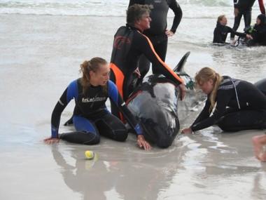 Gestrandete Kleine Schwertwale in Südafrika (Foto: Kaia Kohrs)