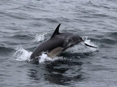 Abtauchender Gemeiner Delfin (Foto: Rüdiger Hengl)