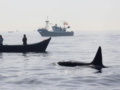Orca und Fischerboote (Foto: Rüdiger Hengl)