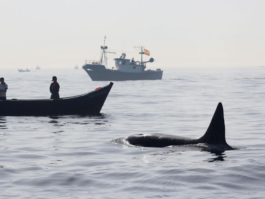 Meeresakrobaten | Bei den Orcas von Gibraltar