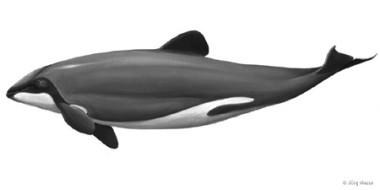 Hector-Delfin  (Illustration: Jörg Mazur)