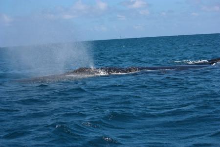 Buckelwale haben 2 Blaslöcher (Foto: Stephanie und Detlef Müller)
