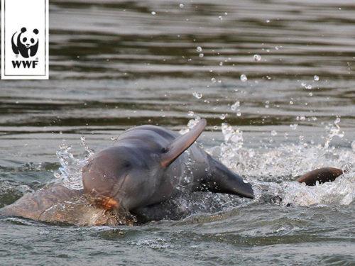 Flussdelfin im Mekong (Foto: WWF)