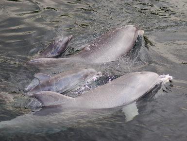 Auch das tief verwurzelte Bedürfnis der Tiere sich fortzupflanzen wird hier garantiert in verantwortlich geführten Zuchtprogrammen. Die Tatsache, dass laienhafte Delfinariengegner diese Mechanismen nicht verstehen, beweist keine Fehlerhaftigkeit in der Zucht. (Foto: Benjamin Schulz)