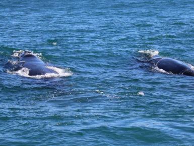 Zwei Südliche Glattwale (Foto: Stephanie und Detlef Müller)