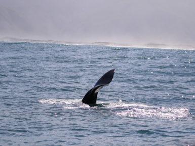 Südlicher Glattwal/Südafrika (Foto: Stephanie und Detlef Müller)